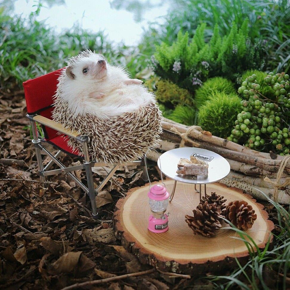 Gemas Maksimal! 20 Pose Imut Azuki Si Landak Mini yang Unyu Abis