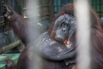 Miris! Orangutan Ini Obesitas Gara-gara Dikurung di Kandang Kecil