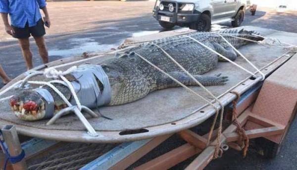 8 Tahun Diburu, Buaya Monster Australia Ini Berhasil Ditangkap