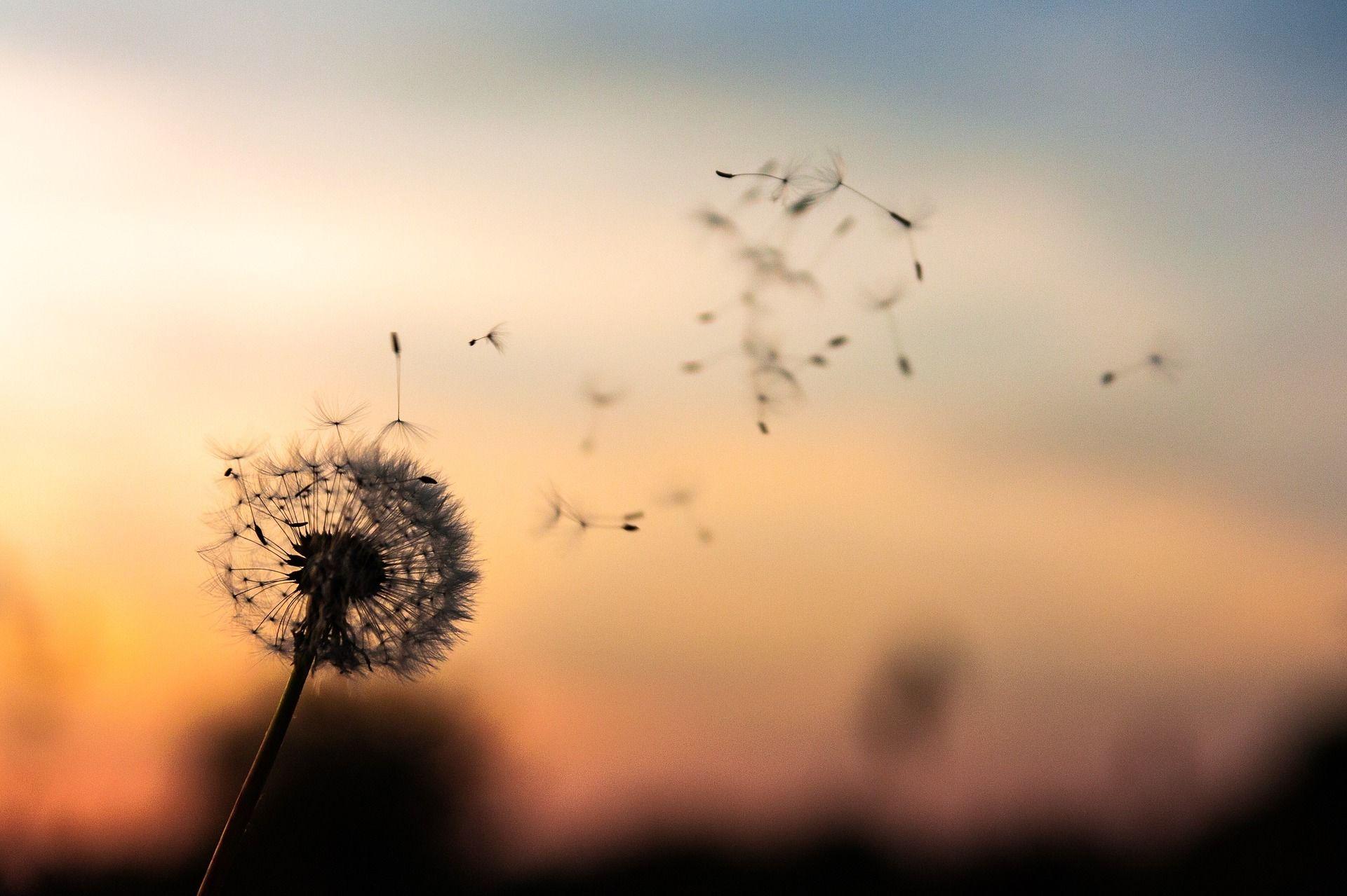 Di Balik Keindahannya Ini 4 Makna Bunga Dandelion Yang Menyentuh Hati