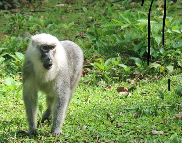 Mengenal 'Dare' Macaca Maura, Binatang Endemik Sulawesi Selatan