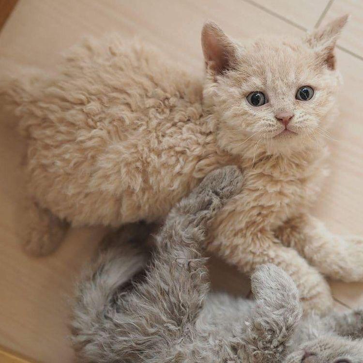 Tahu Gak Sih? 17 Ras Kucing Rumahan Ini Ternyata Langka Banget