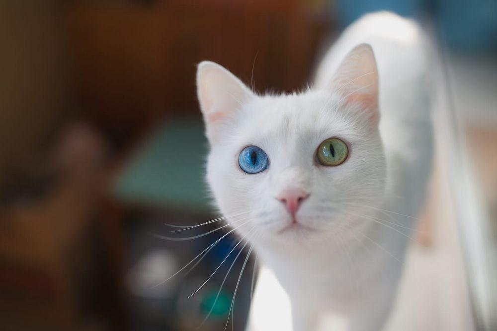 Download 97+  Gambar Kucing Odd Eyes Terbaru Gratis