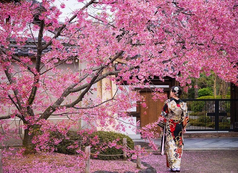 10 Fakta Menarik Tentang Hanami Festival Bunga Sakura Di Jepang