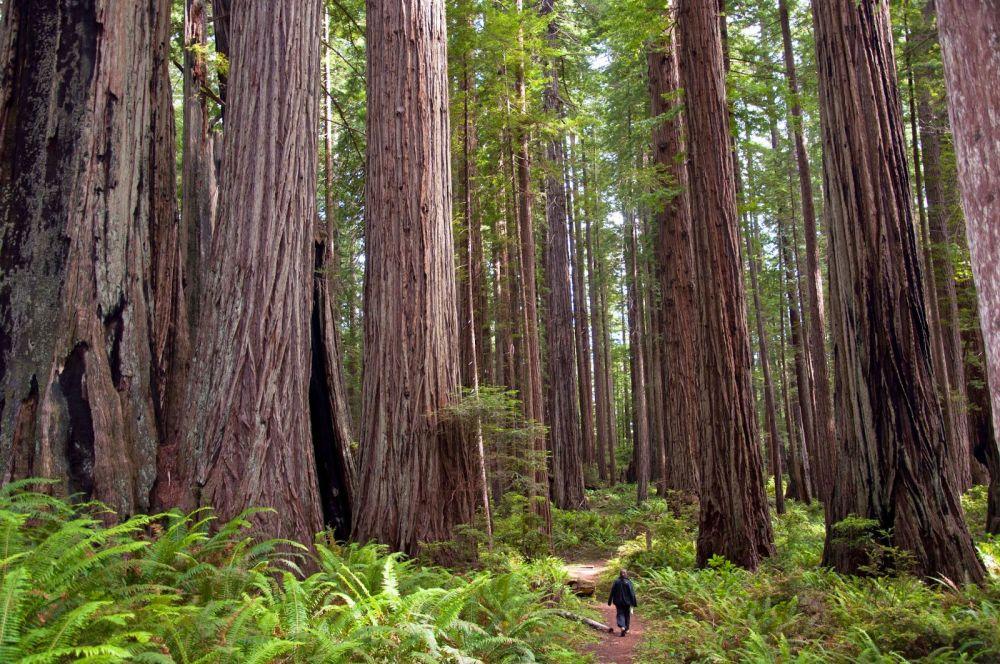 5 Pohon Terbesar di Dunia dengan Batang yang Gede Banget!