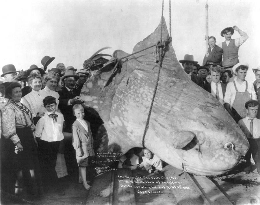 Fakta Ikan Mola-mola di Bali, Si Matahari Laut yang Punya Ekor Unik