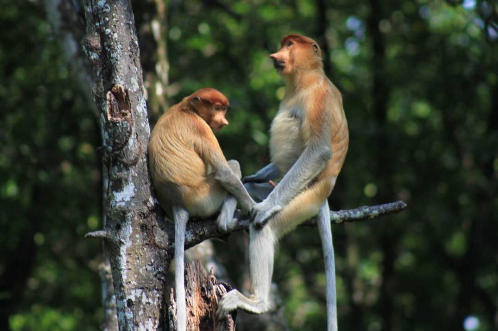 Bekantan: Monyet Unik Hidung Besar Satwa Endemik Kalimantan