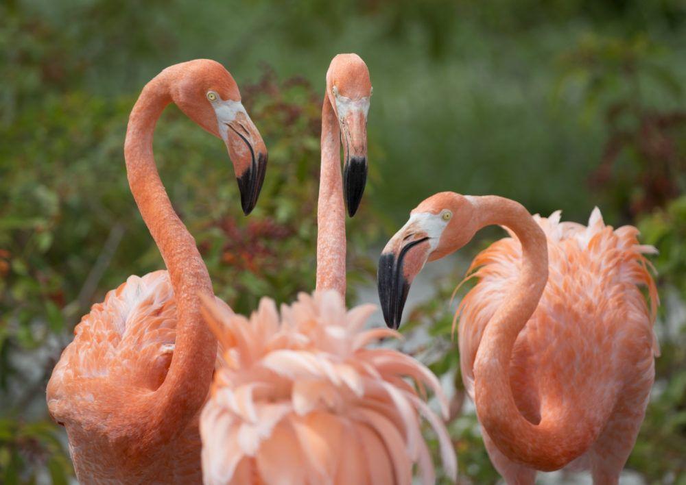 5 Fakta Menarik Burung Flamingo, Si Ramping Berwarna Pink