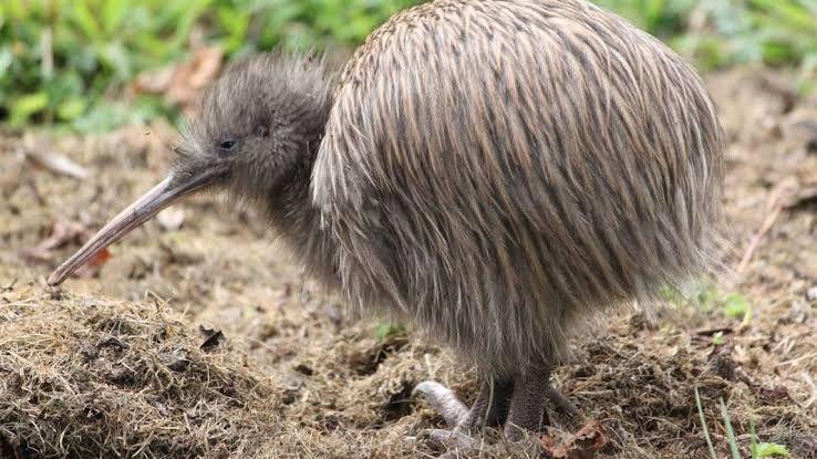 7 Fakta Burung Kiwi, Unggas Tanpa Sayap Ikon Selandia Baru