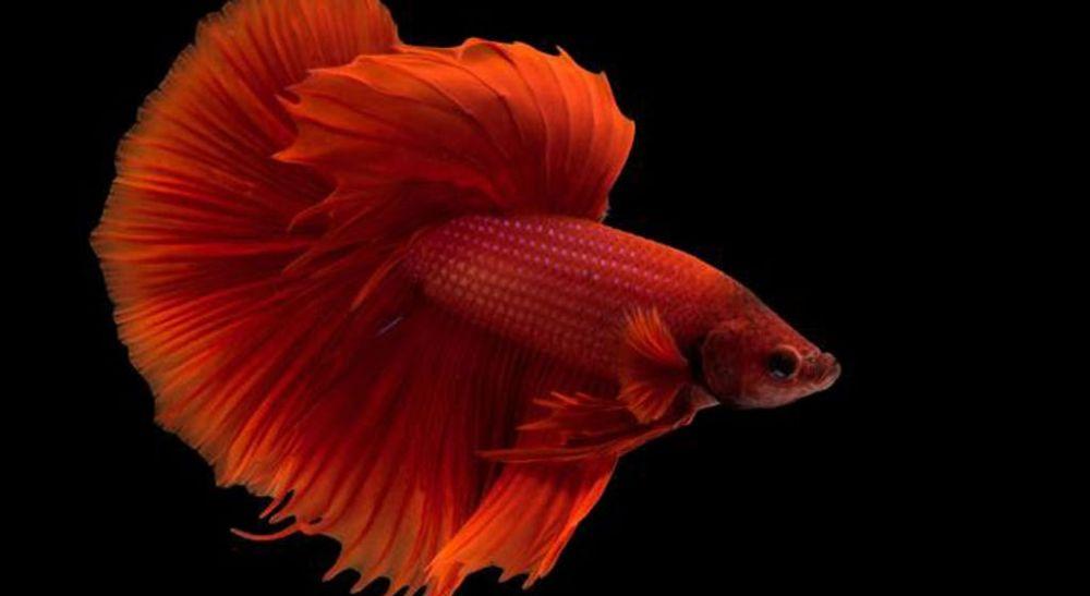Ikan Cupang Inggris