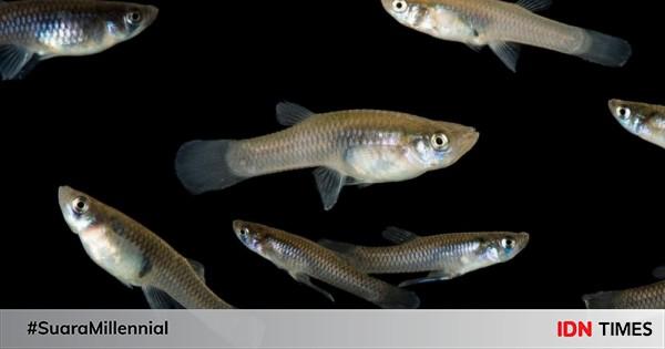 7 Fakta Unik Ikan Cere Atau Guppy Yang Sering Ditemui Di Selokan