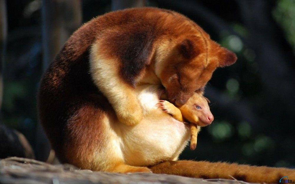 5 Potret Kanguru Pohon yang Kian Langka & Terancam Punah, Sedih!