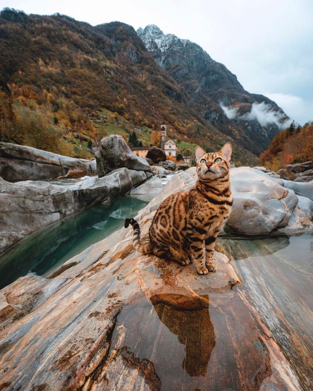 6 Fakta Tentang Kucing Bengal, Kucing Langka dari Amerika