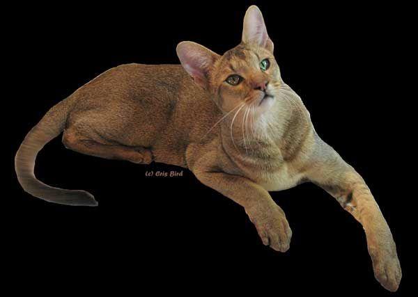 Kucing 101: 8 Fakta Chausie, Kucing Ramah yang Kerap Dikira Liar