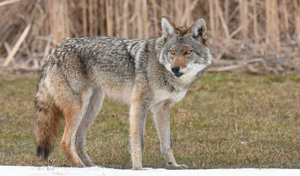 Punya Banyak Akal & Sangat Tangkas, Ini 7 Fakta Unik dari Koyote