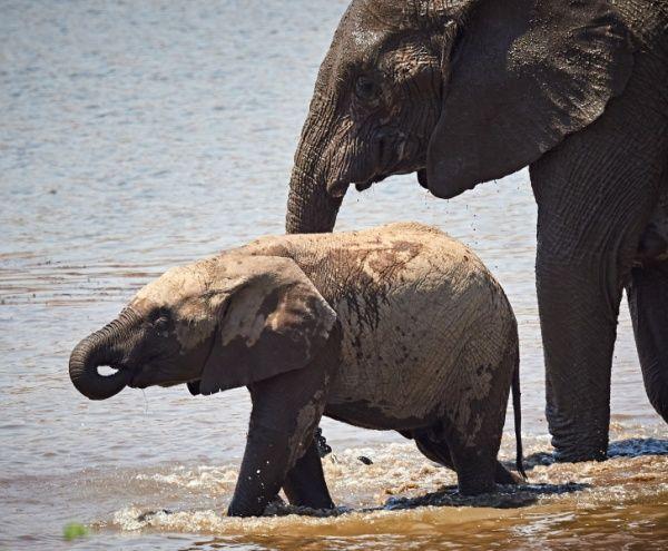 Dalam Dua Hari, Petugas Temukan Bangkai Harimau dan Gajah Sumatra