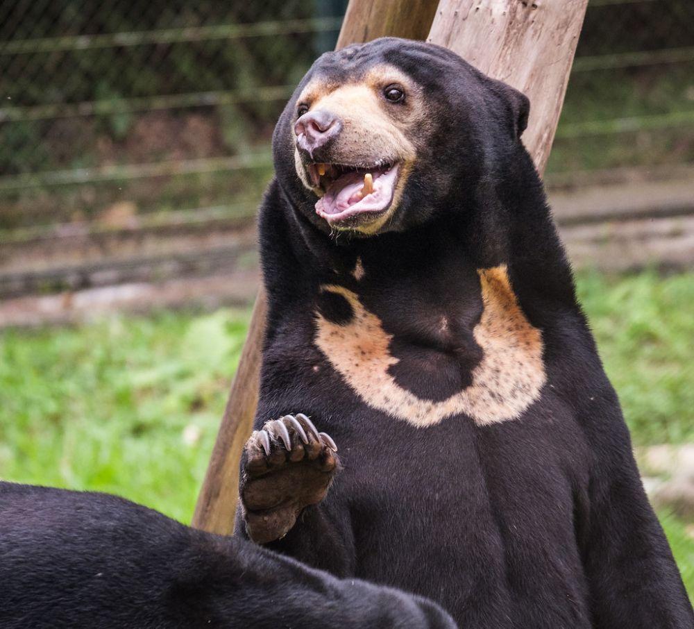 5 Fakta Beruang Madu, Satu-satunya Beruang yang Hidup di Indonesia