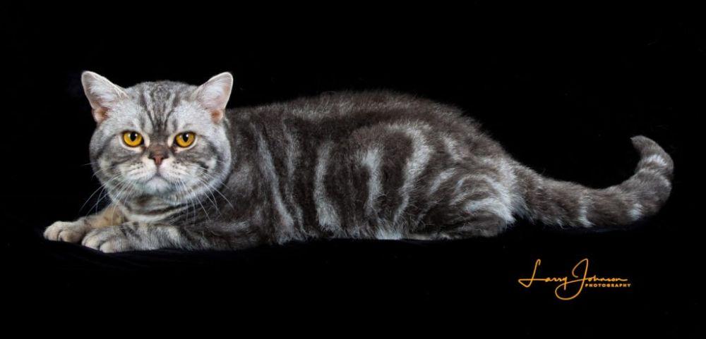 Kucing 101: 7 Jenis Kucing Peranakan Paling Langka, Harganya Fantastis
