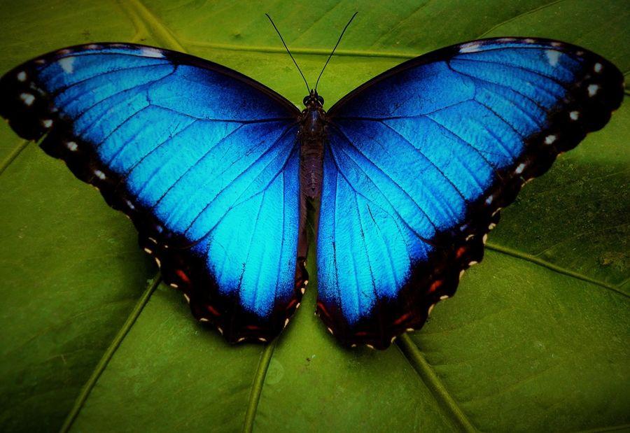 5 Fakta Unik dari Blue Morpho, Spesies Kupu-Kupu dengan Sayap Raksasa
