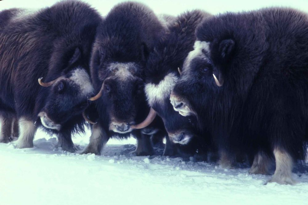 7 Facts about Muskox, a formidable Bison-like Arctic resident