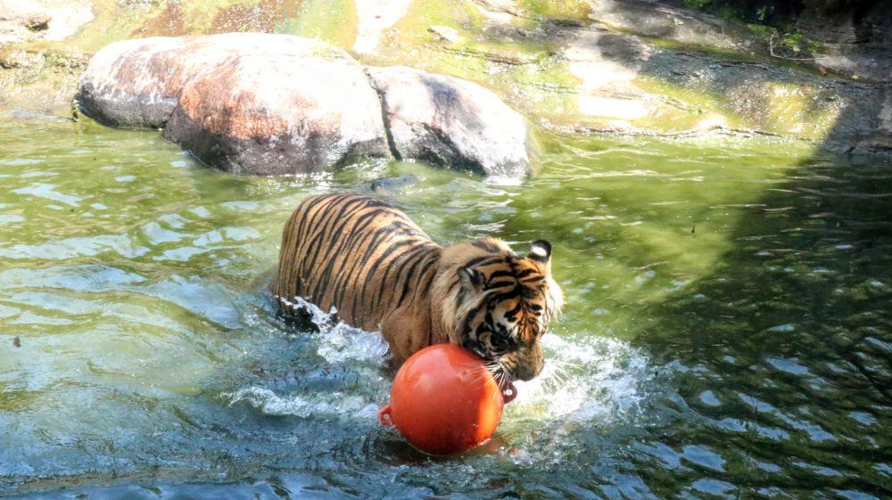 2 Harimau Lepas, Pengurus Kebun Binatang: Kandang Jebol karena Longsor