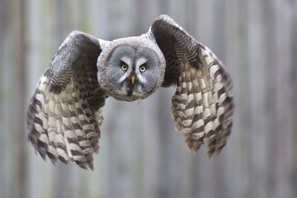7 Fakta Burung Hantu Kelabu, Predator Ulung dengan Pendengaran Super