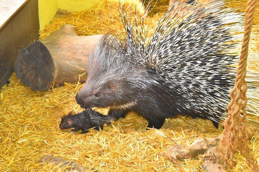 5 Fakta Ilmiah Landak Porcupine, Mamalia yang Ditakuti oleh Predator