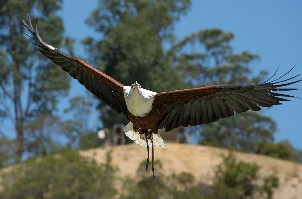5 Fakta Unik African Fish Eagle, Burung Predator dari Benua Afrika!