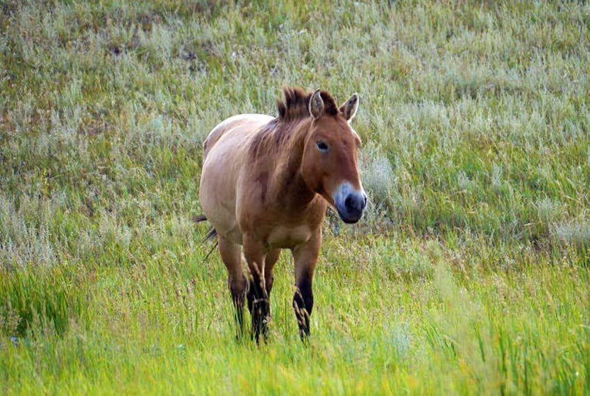 5 Fakta Menarik Przewalski, Spesies Kuda Langka Bertubuh Kecil!