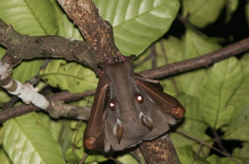 5 Fakta Unik Hammer Headed Bat, Spesies Kelelawar Terbesar di Afrika!
