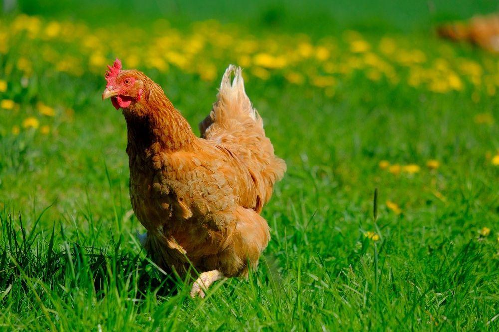 12 Sebutan Suara Hewan dalam Bahasa Sunda, Suara Ayam Disebut Apa ya?