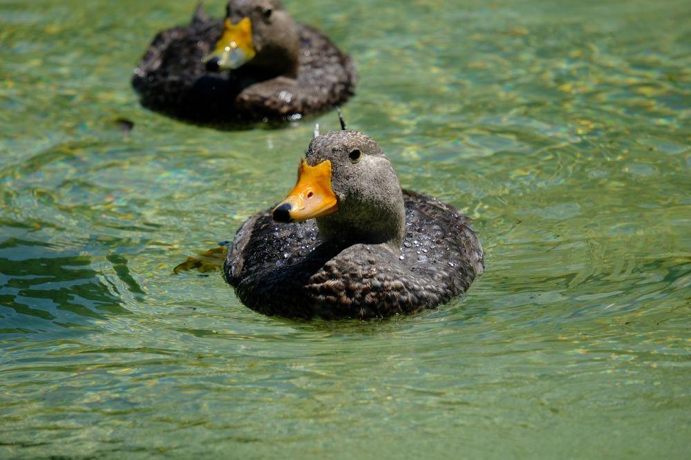 Berbakat, 5 Burung Ini Ahli dalam Berenang dan Menyelam