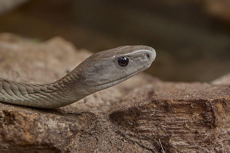 5 Spesies Ular Paling Berbisa yang Hidup di Benua Afrika, Waspada!