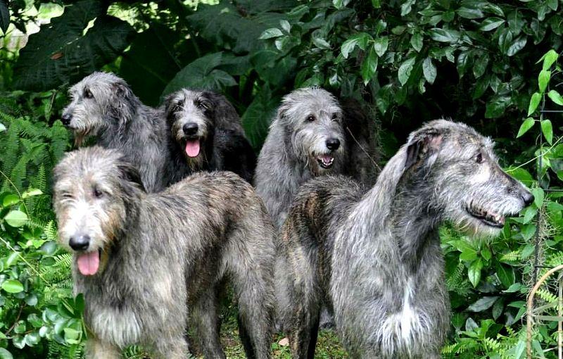 Berukuran Raksasa, Ini 8 Ras Anjing Terbesar di Dunia