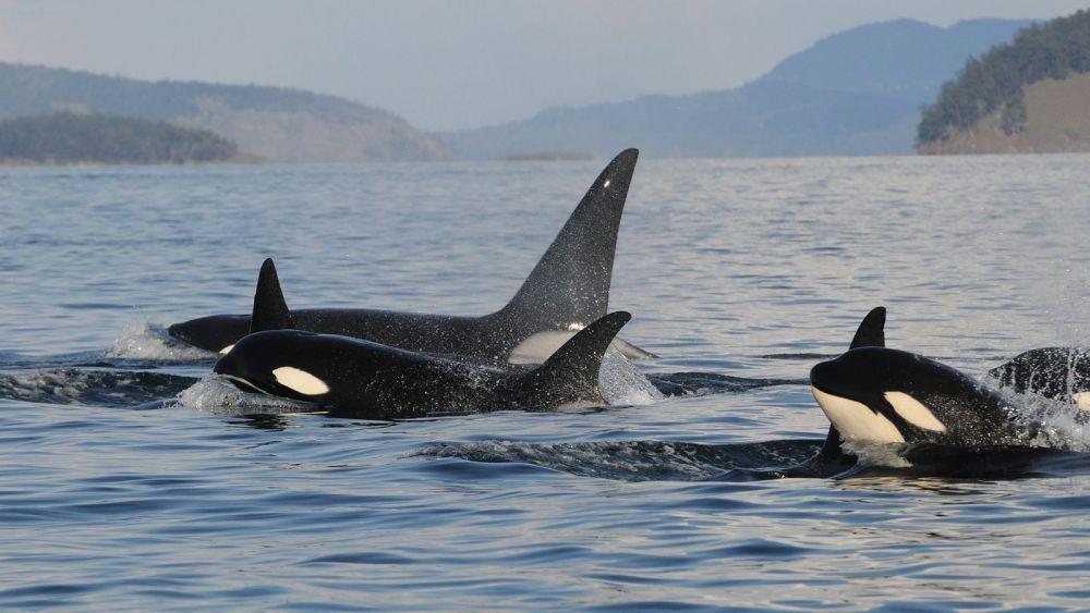 5 Fakta Orca si Paus Pembunuh, Bikin Hiu Langsung Melipir