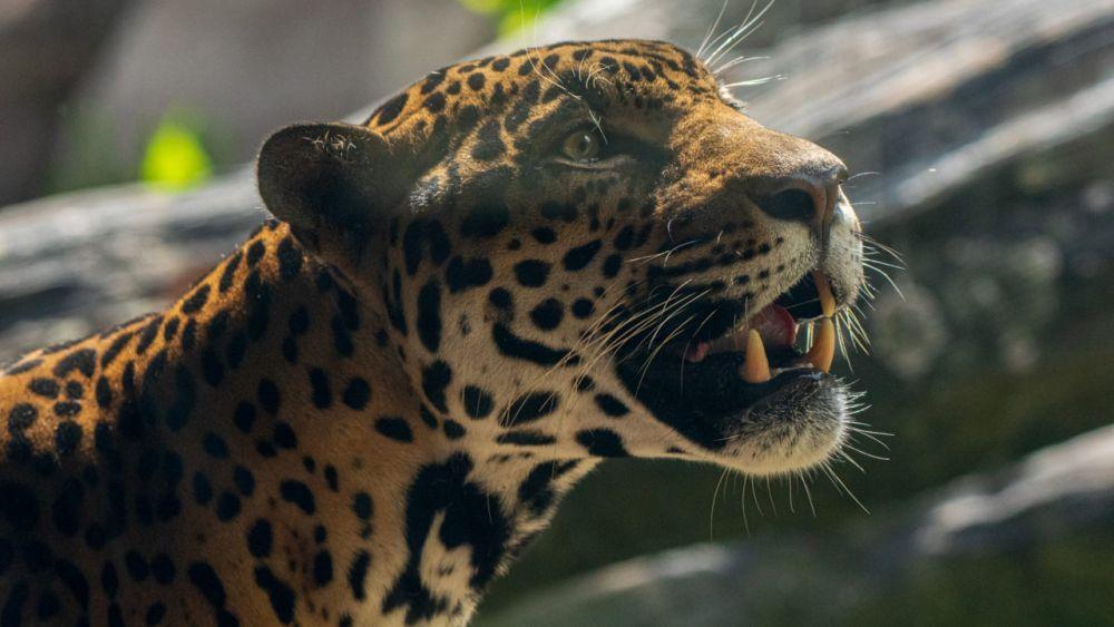 10 Fakta tentang Hewan dengan Gigitan Terkuat di Dunia
