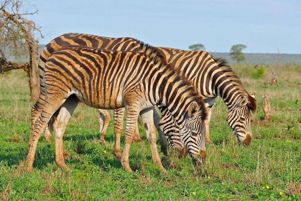 Mengenal Quagga, Jenis Zebra Punah yang Coba Dihidupkan Kembali