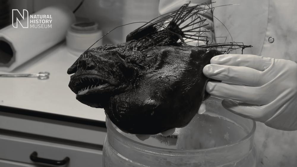 Tampak Menyeramkan, 6 Fakta Anglerfish yang Hidup di Laut Dalam