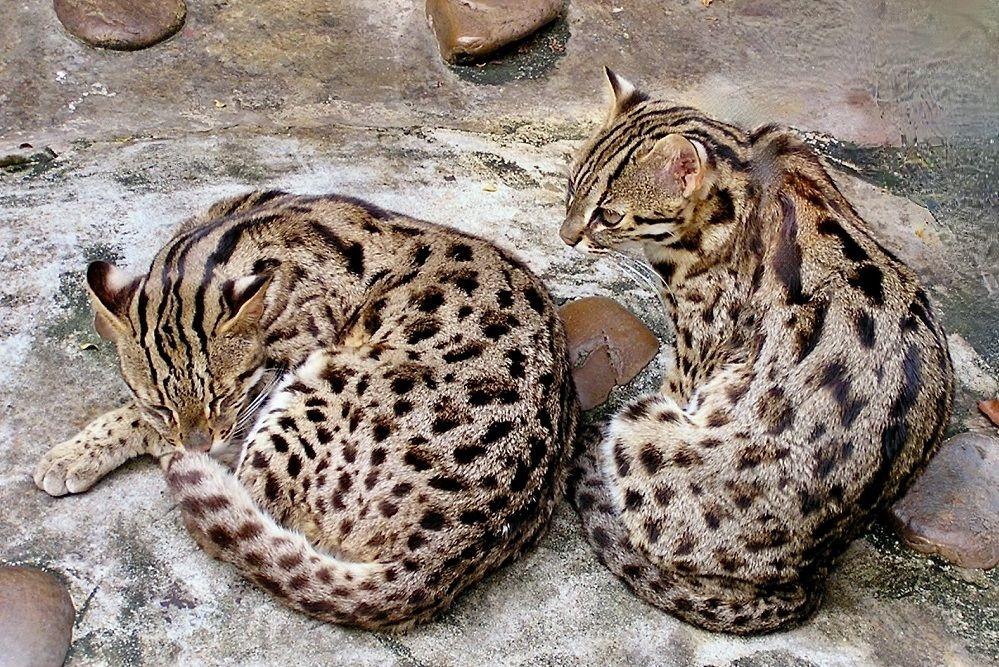 Karnivor Imut Asli Asia, Ini 6 Fakta Menarik Leopard Cat
