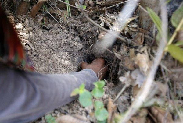 10 Fakta Menarik Tarantula Goreng, Makanan Ekstrem Khas Kamboja