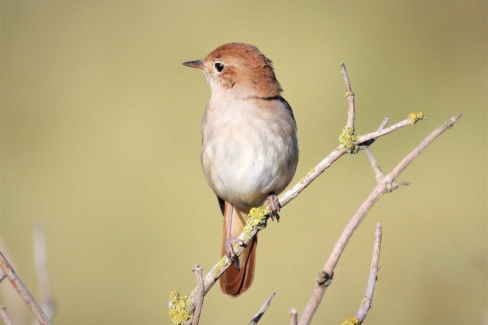 7 Fakta Nightingale, Burung Mungil dengan Kicauan Terindah