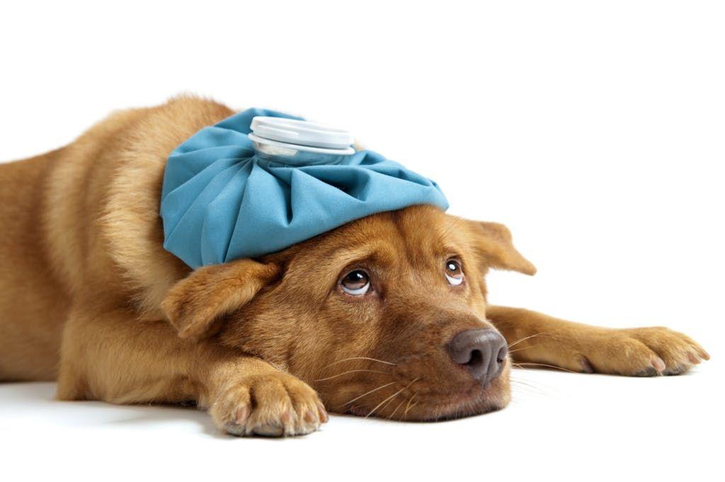 Kamu Harus Tahu, 7 Dampak Buruk Makan Daging Anjing