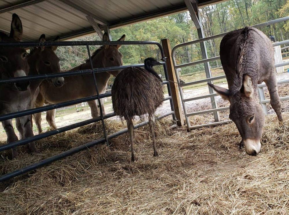 7 Potret Mesra Keledai dan Burung Emu yang Jatuh Cinta, Bikin Terharu
