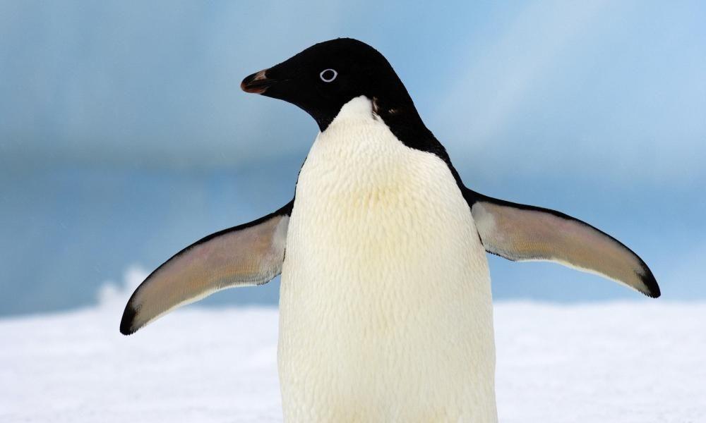 Kenapa Penguin Tahan Udara Dingin Kutub? Ini 7 Faktanya Menurut Sains!