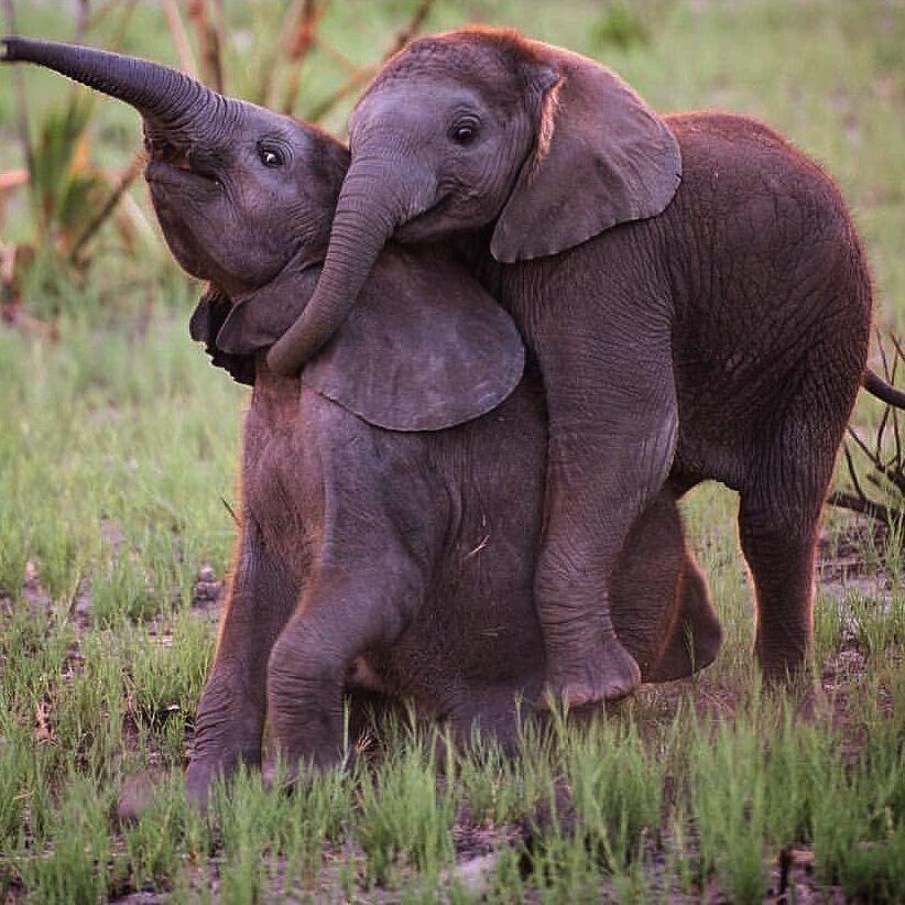 3 Faktor Anak Gajah Berpotensi Mati meski di Konservasi