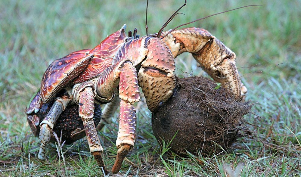 10 Fakta Unik Ketam Kenari, Arthropoda Darat Terbesar di Dunia