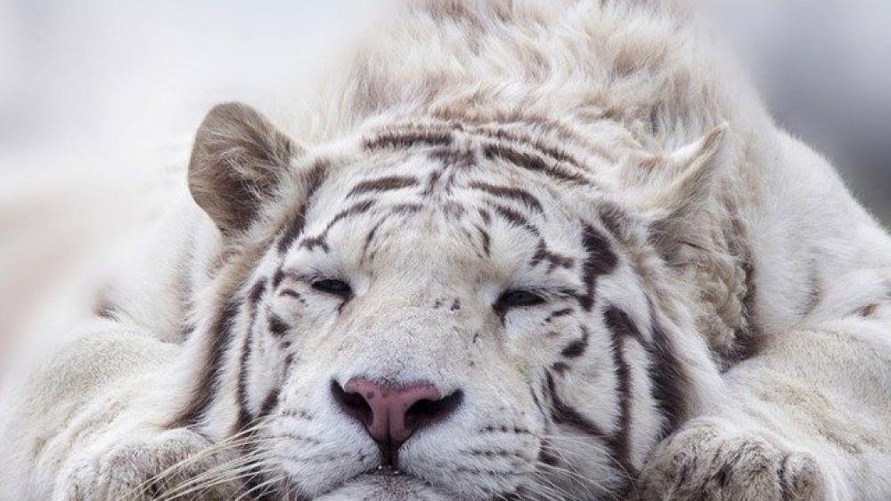 Hari Harimau Sedunia, 16 Fakta Agar Kamu Mengerti Kucing Besar Ini