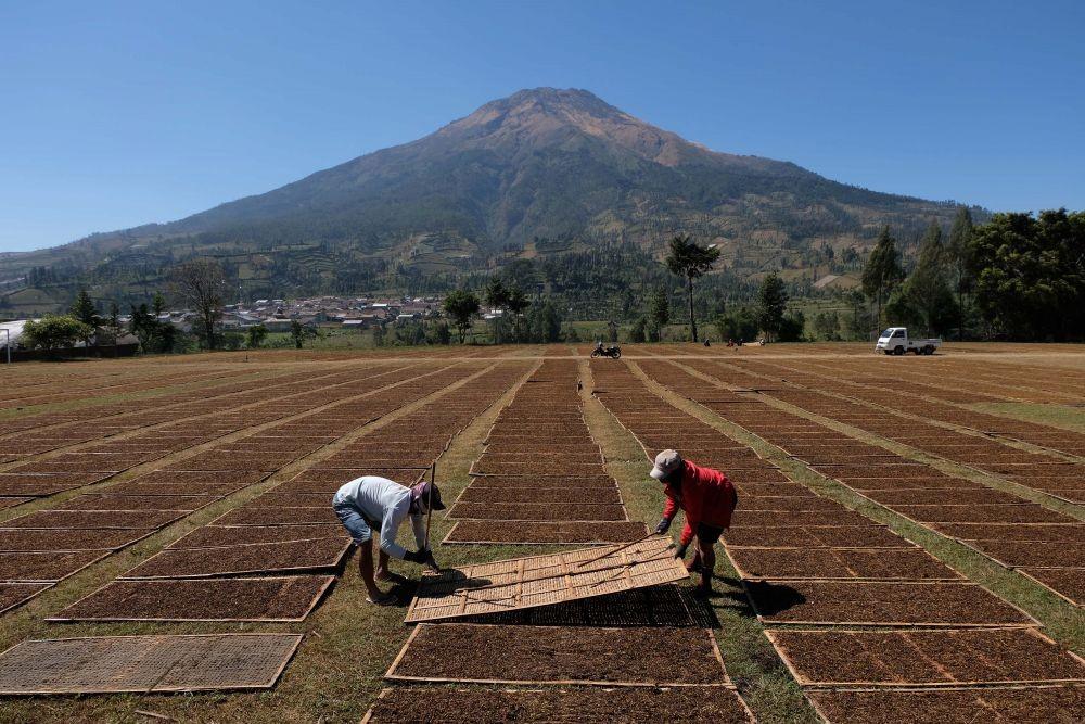 Tarif Cukai Bakal Dinaikan Lagi, Petani Tembakau di Jateng Kian Terpuruk