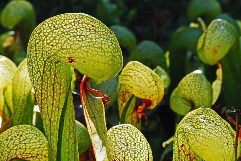 9 Tumbuhan Pemakan Hewan, Mangsanya Mulai dari Serangga hingga Mamalia