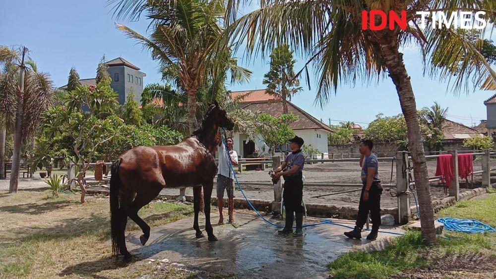 Cerita Unik Kuda Patroli Polda Bali, Dibuat Lelah Dulu Sebelum Patroli